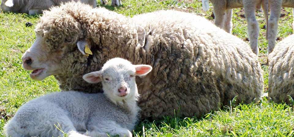 Allevamento ovini - Portosalvo di Mascali (CT)